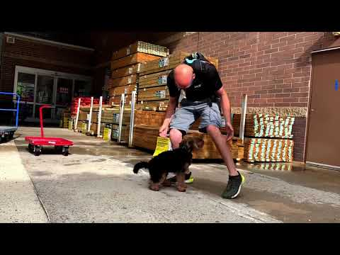 Welsh Terrier Ruby | Off Leash K9 Training | Central\Western Massachusetts