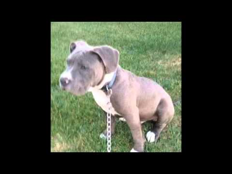 American bully before and after cropped ears - YouTube