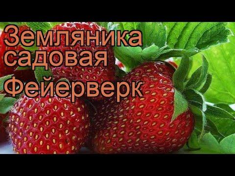 Земляника садовая Фейерверк (fragaria ananassa) 🌿 обзор: как сажать, рассада земляники Фейерверк