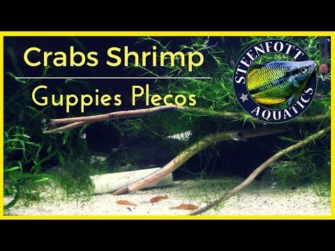 Shrimp Pom Pom Crabs Guppy Fish and Plecos - 37 Gallon Aquarium Update!