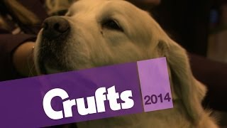 Golden Retriever Best Of Breed | Crufts 2014