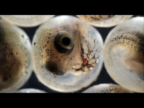 Fish Hatching From Eggs (under The Microscope)