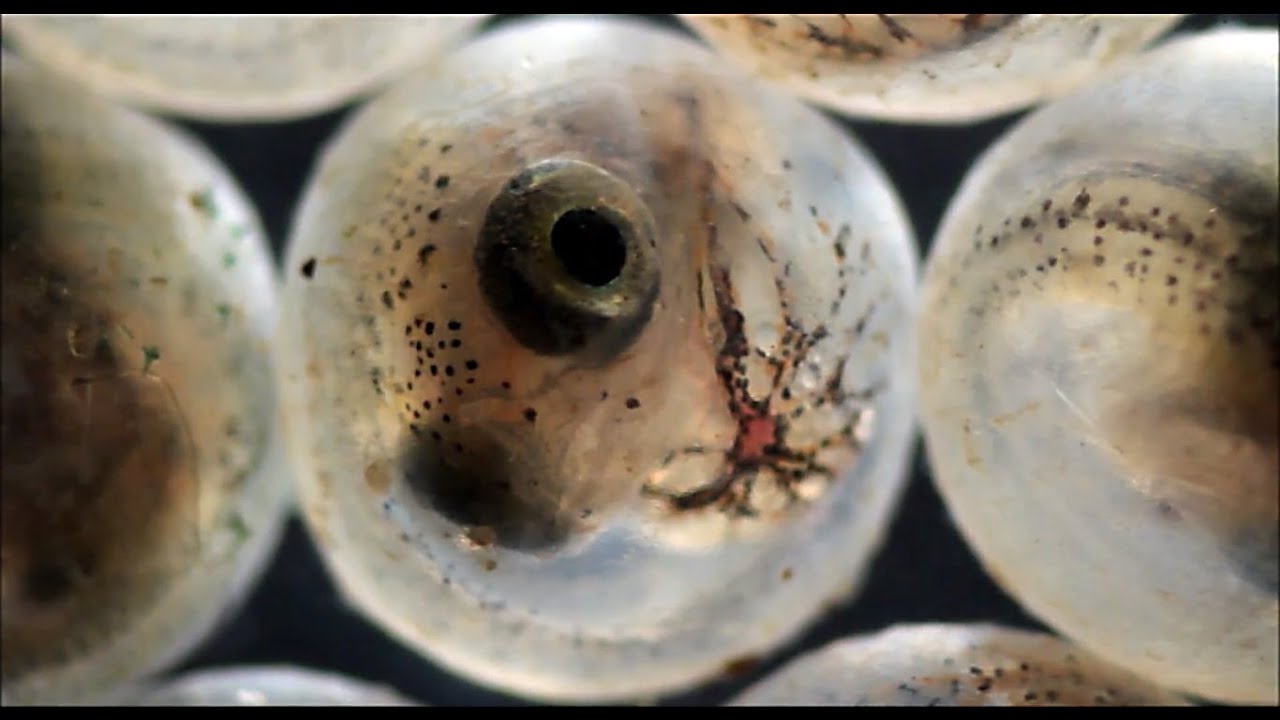 Fish hatching from eggs under the microscope youtube for Koi fish eggs for sale