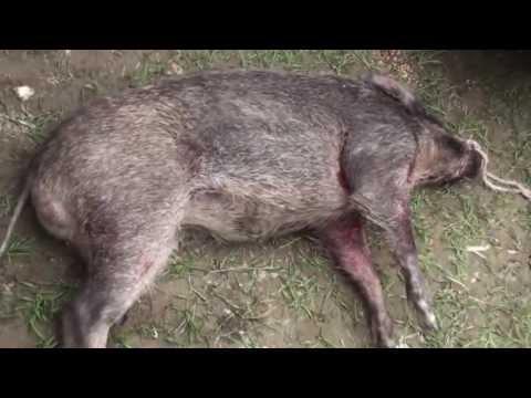 Pig Hunting Video In Pakistan Hog Hunting Wild Boar