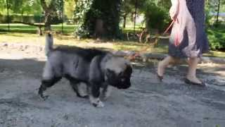 Caucasian Shepherd Puppy - the walk