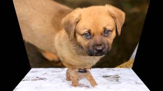 Our Bullmastiff x Akita Cute Puppy Dog Photo Slideshow