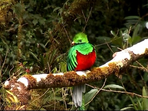 Amazing quetzal at Monteverde - Costa Rica