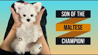 Cutest Maltese puppy  Son of the Maltese Champion dog  5 months old