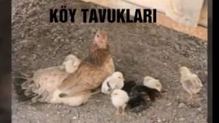 En Çok Gurk Olan 8 Tavuk Cinsi