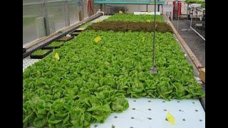 Салат на пенопласте Гидропоника