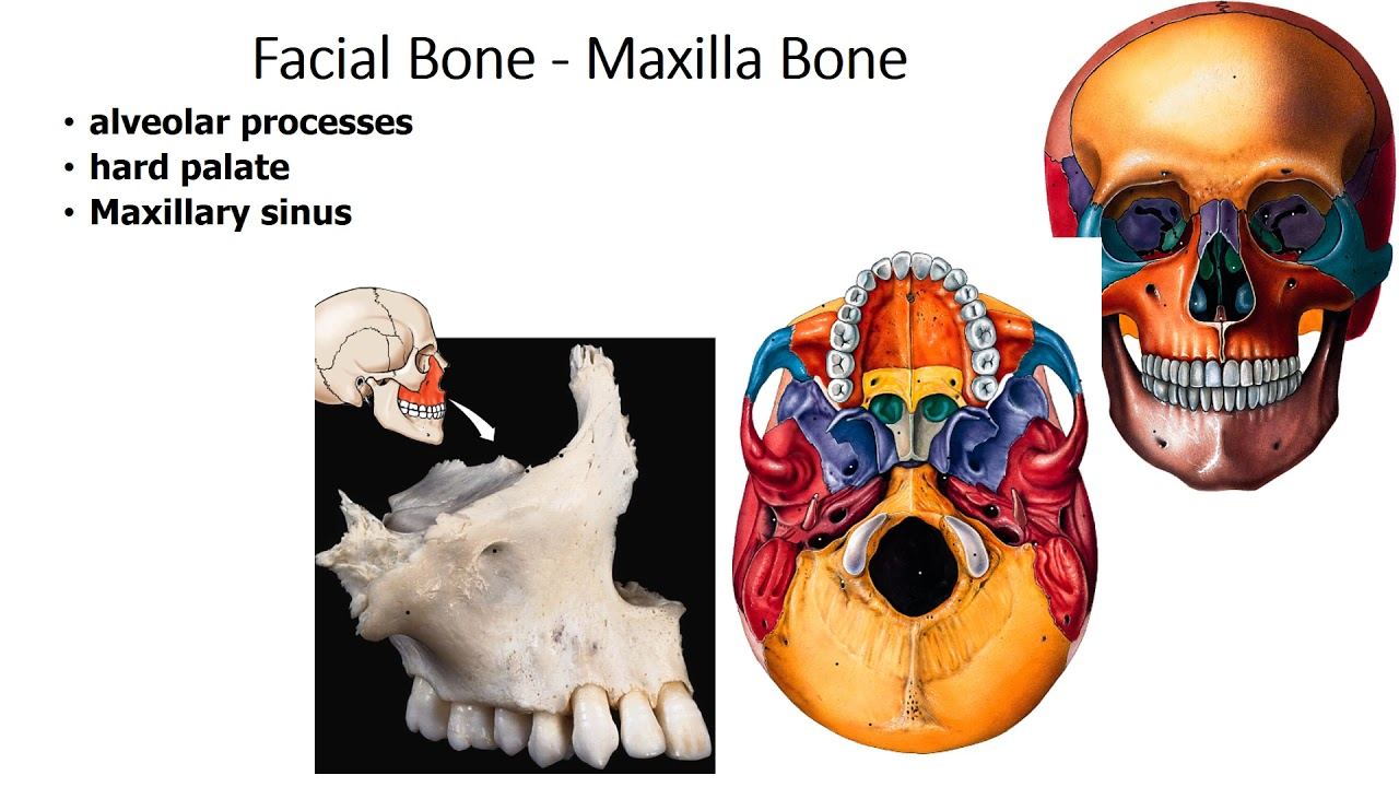 Facial Bones Youtube