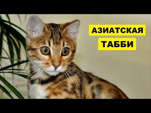 Кошка Азиатская табби плюсы и минусы породы   Породы кошек   Азиатская табби порода кошек