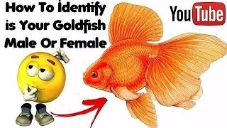 Goldfish Male And Female Differences   How to identity male and female in goldfish