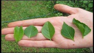 Benefícios medicinais do manjericão e como plantá lo na sua casa!