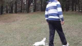 Воспитание и дрессировка щенка джек рассел терьера от опытного кинолога