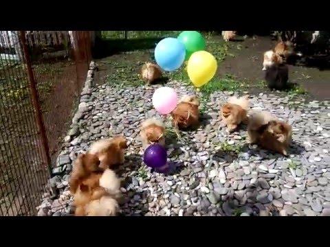 Шпицы и шарики. Померанский шпиц/Pomeranian spitz