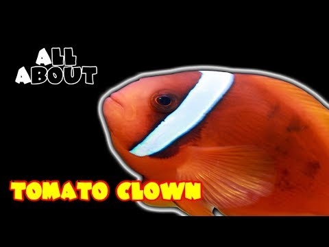 All About The Tomato Clownfish