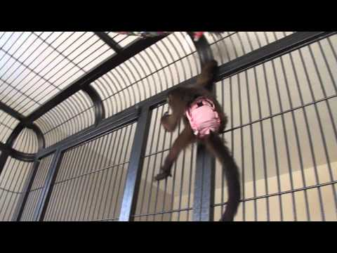 Baby monkey Nala figures out how to open her new enclosure