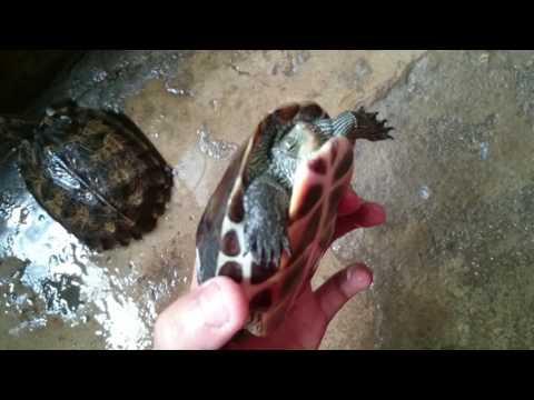 Rùa pulkin