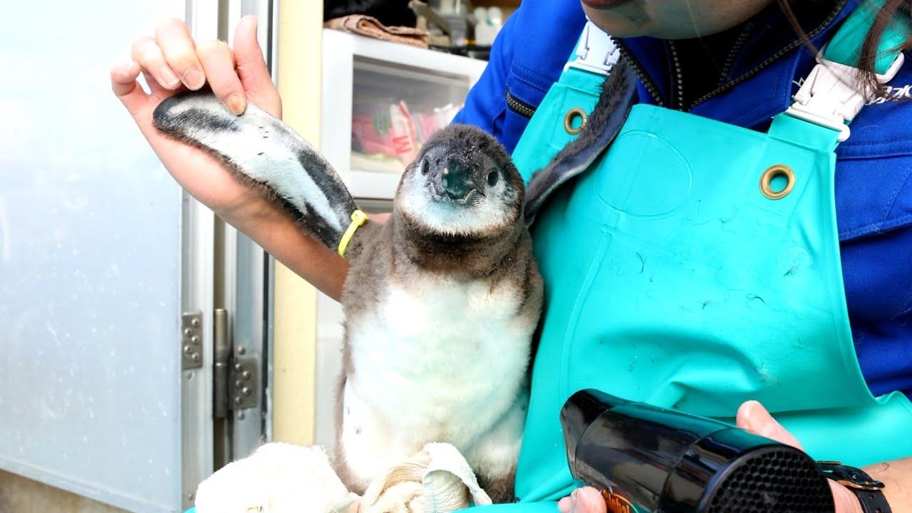 《鳥羽水族館》ペンギンの雛、初めてのお風呂