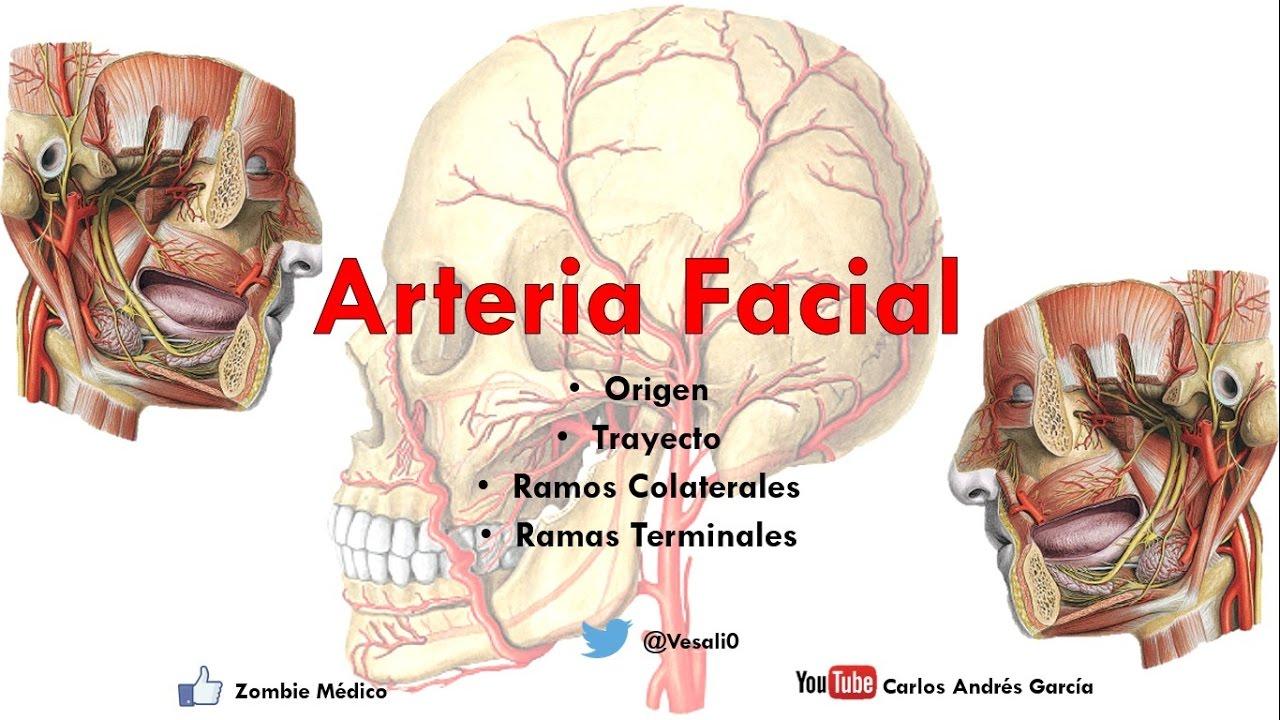 Anatomía - Arteria Facial (Origen, Trayecto, Ramos Colaterales y ...
