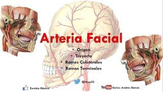 Nervios y faciales sanguíneos vasos