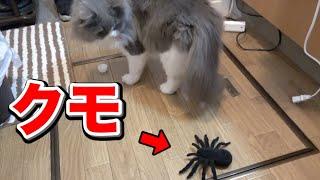 猫にクモドッキリしたら意外な反応www thumbnail