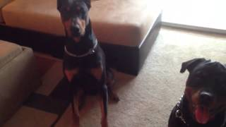 Tug Of War With Doberman And Rottweiler