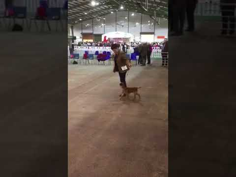 Border terrier national terrier 2018