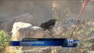 Tasmanian devils draw big crowd at ABQ BioPark