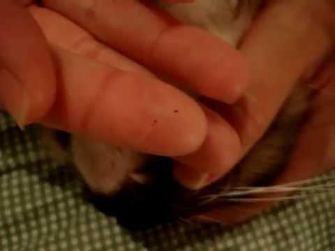 Why Do Black Flecks Appear on My Cat's Chin?