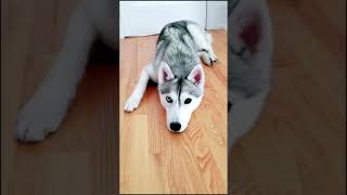 Telling My HUSKY She's Being Put Up for Adoption Prank! (She almost believed me!)