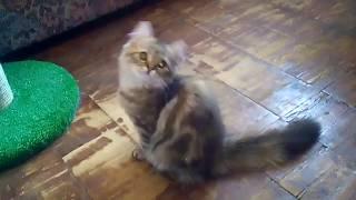 В квартире омички отдельную комнату занимают шотландские коты и котята