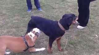 Rottweiler Vs Pitbull Red Nose Vs American Staffordshire Terrier Vs Labrador