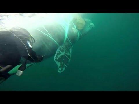 يورو نيوز:شاهد : إنقاذ حوت عالق في شبكة صيد في تشيلي