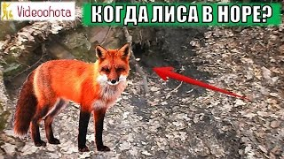 Когда лиса уходит в нору? Полезное видео для охотника