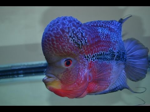 Flowerhorn vs cold water fish youtube for What are cold water fish