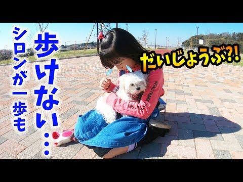【誰か助けて😭】子犬が初めてのお散歩でハプニング発生💦一歩も動けない…大丈夫??マルチーズのシロンがお散歩で…【しほりみチャンネル】