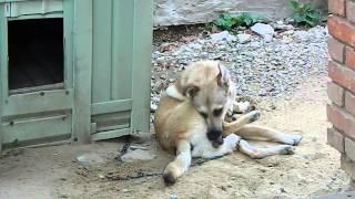Собака кусает свою ногу,а потом .