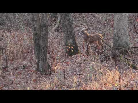 Illinois Solo Bow Hunt - Max smokes an old warrior buck for his second bow kill of 2016