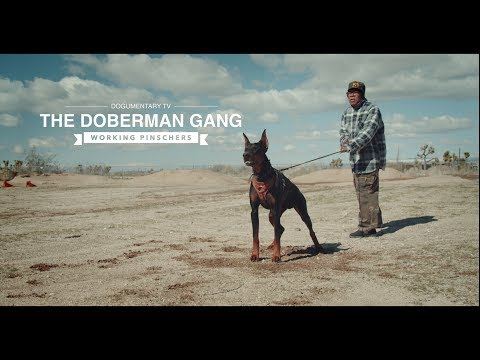 THE DOBERMAN GANG: WORKING PINSCHERS