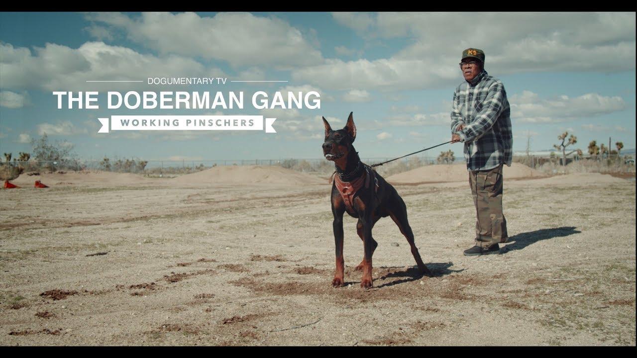 THE DOBERMAN GANG: WORKING PINSCHERS - YouTube