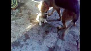 Jarman Safed Puppy Sant Bernat Playing Together....!