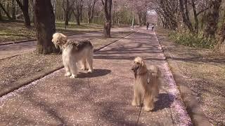 朝からウニちょのシャンプー 何時もの散歩コースへ 皆さんチャンネル登...