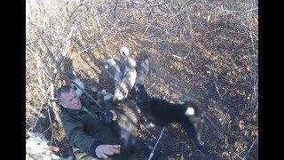 Охота на кабана с ножом и собаками (зарезал).