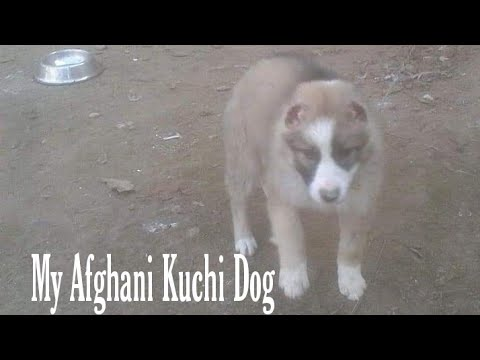 Afghani Kuchi Dog barking