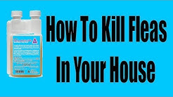 How to kill fleas in the house (I)