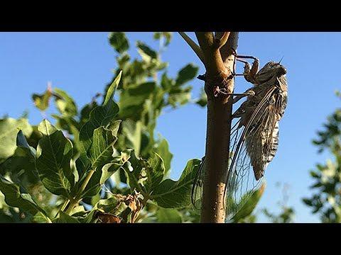 Поющая цикада
