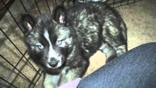 Gibson The Siberian Husky Needs Help!