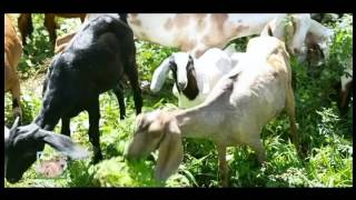 Video AGRITV APRIL 2 EPISODE Agrihan with Charlie Cruz Pag aalaga ng Kambing Part 3 download MP3, 3GP, MP4, WEBM, AVI, FLV Oktober 2017
